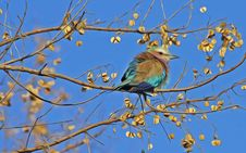 Free Blue And Brown Bird On Brown Tree Branch Under Blue Sky Royalty Free Stock Photography - 90156637