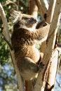 Free Sleeping Koala Royalty Free Stock Photography - 9026567