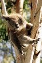 Free Sleeping Koala Stock Photos - 9026933