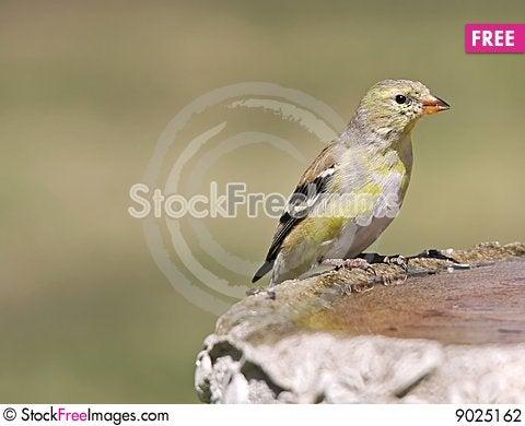 Female Goldfinch Stock Photo
