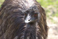 Free Emu Stock Photography - 9023642