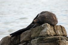 Free Fur Seal Royalty Free Stock Photos - 9024658