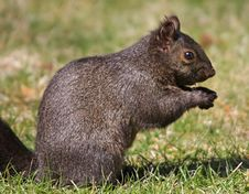 Free Melanistic Eastern Gray Squirrel Stock Photo - 9025130