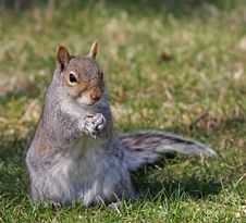 Free Squirrel Eating A Seed Royalty Free Stock Image - 9025166