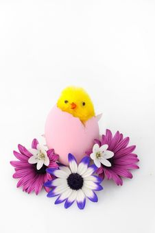 Free Little Chick Of Easter Royalty Free Stock Photos - 9025648