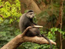 Free Lone Monkey On A Limb Stock Photo - 9026200
