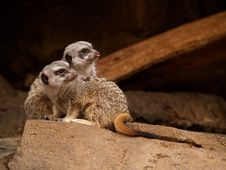 Meerkats On Guard Royalty Free Stock Photos