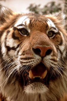 Free Tiger Roaring Royalty Free Stock Photography - 9026377