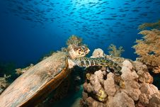 Free Hawksbill Turtle Stock Photos - 9026653