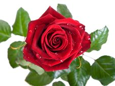 Free Rose On A White Background. Royalty Free Stock Photos - 9028028
