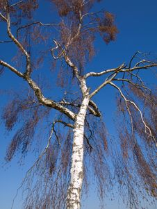 Free White Tree Reach Into The Blue Sky Above Stock Photo - 9028040