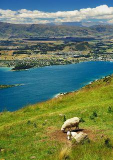 Free Sheeps And Wanaka Royalty Free Stock Images - 9028589