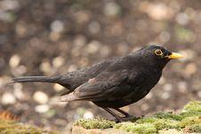 Free Blackbird Royalty Free Stock Photo - 9028705