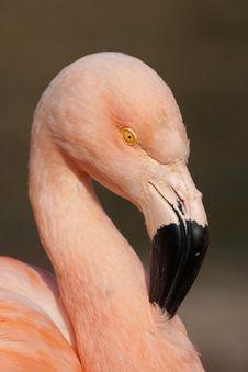 Free Cuban Flamingo Royalty Free Stock Image - 9028926