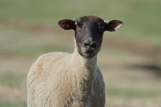 Free Black-faced Sheep Stock Images - 9029634