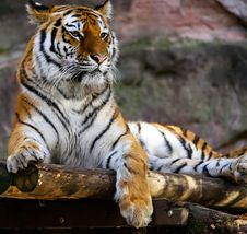 Free Tiger Profile Royalty Free Stock Image - 90214086