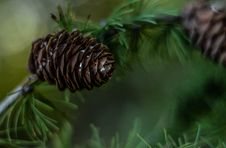 Free Pine Cones On Branches Stock Photography - 90279212