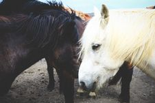 Free White And Brown Horse On Brown Dirt Surface Stock Images - 90279384
