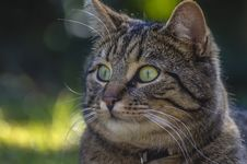 Free Close-up Portrait Of Cat Stock Image - 90279501