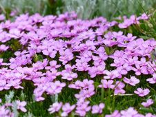 Free Purple Flower And Green Grass Stock Photography - 90280712