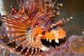 Free Zebra Lionfish (Dendrochirus Zebra) Royalty Free Stock Photos - 9032418