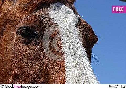 Free Sorrel Horse Royalty Free Stock Photo - 9037115