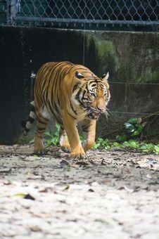 Sumatran Tiger Stock Photo