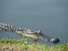 Free Alligator Royalty Free Stock Photos - 9032288