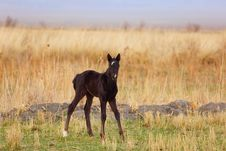 Free Black Foal Royalty Free Stock Photo - 9032305