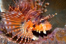 Zebra Lionfish (Dendrochirus Zebra) Royalty Free Stock Photos