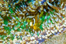 Free Clark S Anemoneyfish (Amphiprion Clarkii) Royalty Free Stock Photography - 9032427
