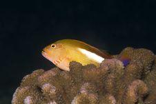 Free Arc Eye Hawkfish (Paracirrhites Arcatus) Royalty Free Stock Photo - 9032475