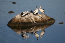 Free Pelicans On Rock Royalty Free Stock Photo - 9033045