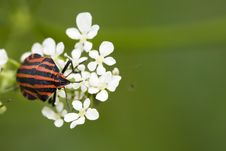 Hemiptera Red Stink Bug In White Flowers Stock Photo
