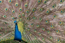 Free Displaying Peacock Royalty Free Stock Photos - 9034958