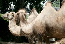 Free A Grand Couple Of Camels Royalty Free Stock Images - 9035399