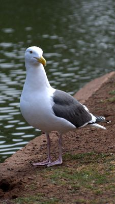 Free Sea Gull Royalty Free Stock Photo - 9035745