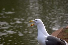 Free Sea Gull Royalty Free Stock Photo - 9035825