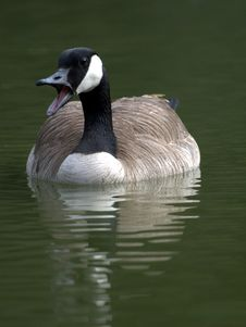 Free Goose Royalty Free Stock Photo - 9035905