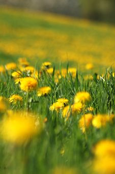 Free Dandelions In The Field Royalty Free Stock Photo - 9035955