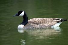 Free Goose Stock Photo - 9035970