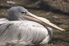 Free Pelican Royalty Free Stock Photo - 9035995