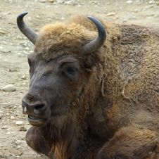 Free Bison Head Stock Image - 9036001