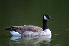 Free Goose Royalty Free Stock Photo - 9036015