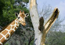 Free Giraffe Imitates Tree Stock Photography - 9036072