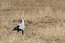 Free Secretary Bird Stock Photos - 9036343