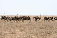 Free Ostriches Stock Photo - 9036470