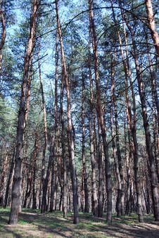 Free Pine-wood Stock Image - 9036621