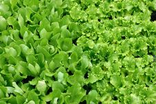 Green Salad Background Royalty Free Stock Photography