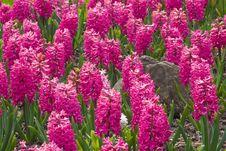 Free Magenta Hyacinths Stock Images - 9036744